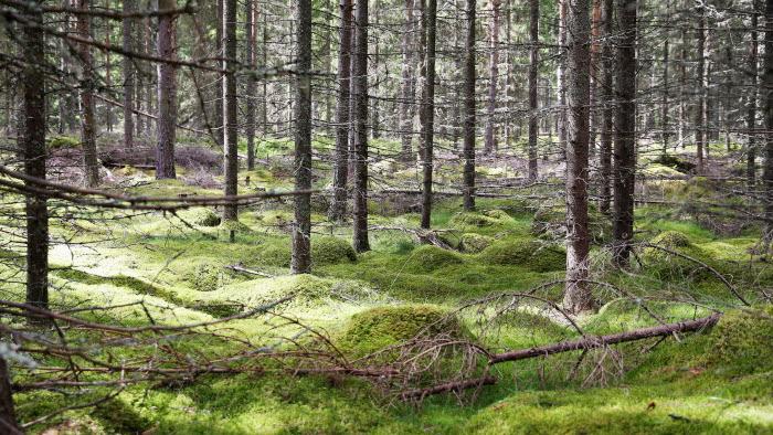 Skog med glänta