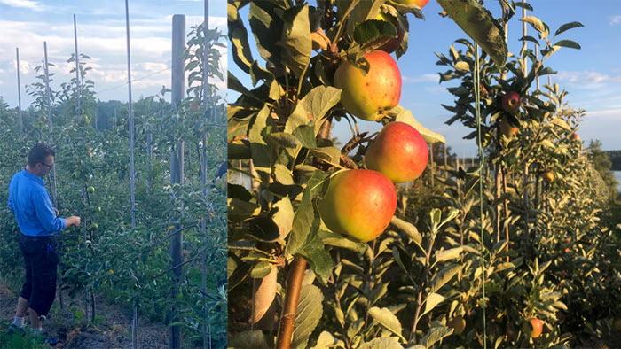 Äppelodlare berättar om sina äpplen