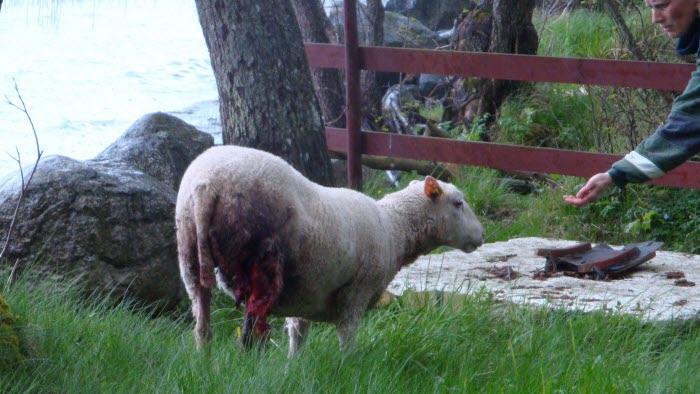 Lamm attackerats av varg