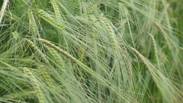 Korn på fält
