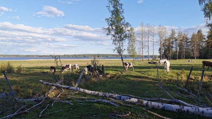 Frödingeleden och kossor vid Vänerns strand