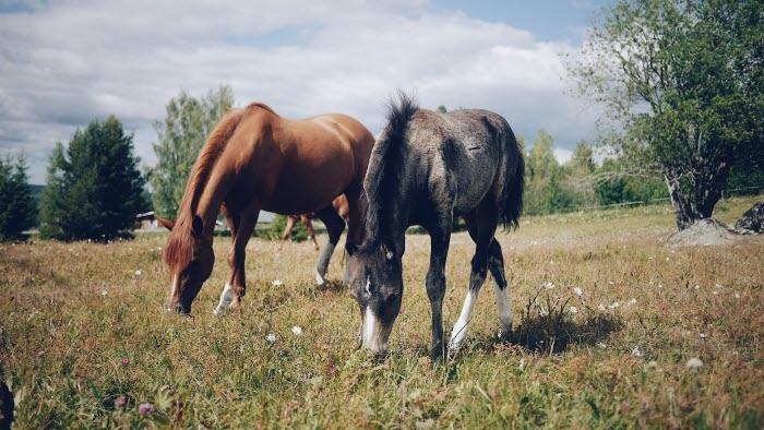Hästar som betar, mor och föl