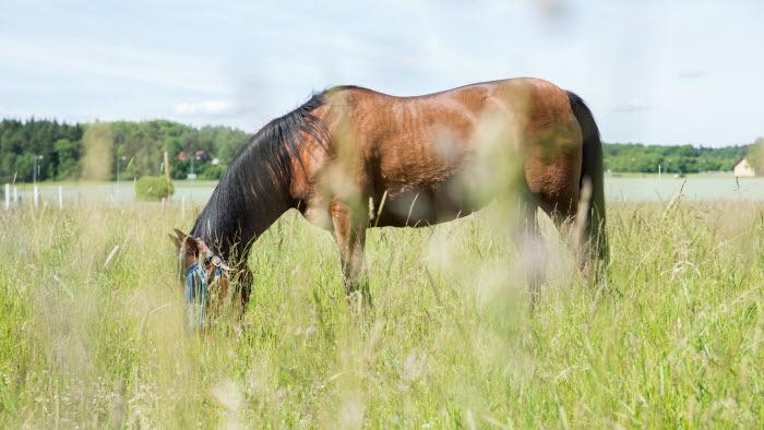 Brun häst på bete