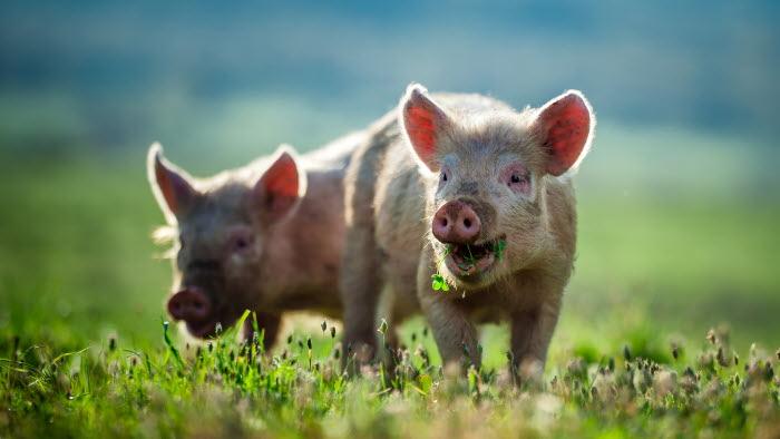 Granngården gris