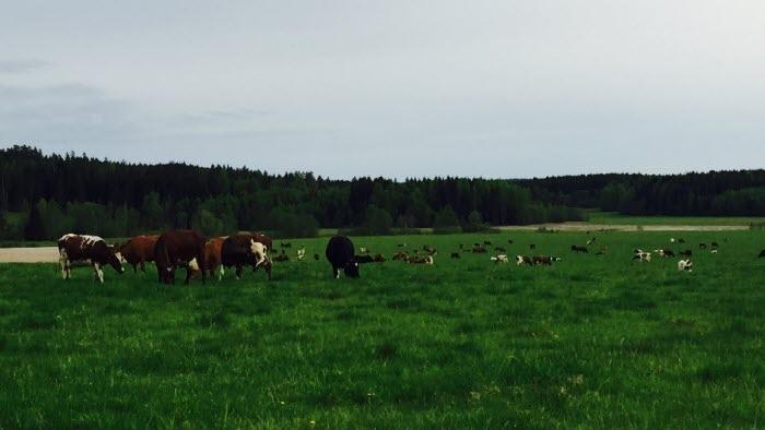 Gräsförädling, kor, gräs