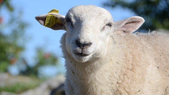 Lammet käkar ensilage
