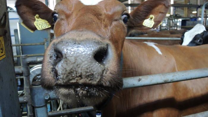 Ko på väg till mjölkning