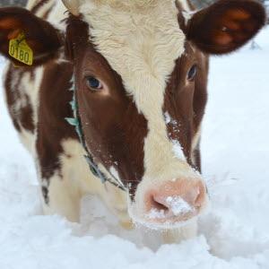 Mjölkkor i vintermiljö
