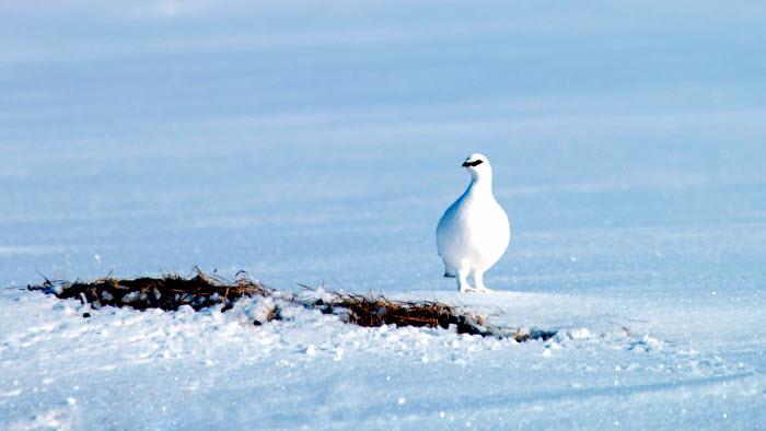 Fågel i snö (beskuren)