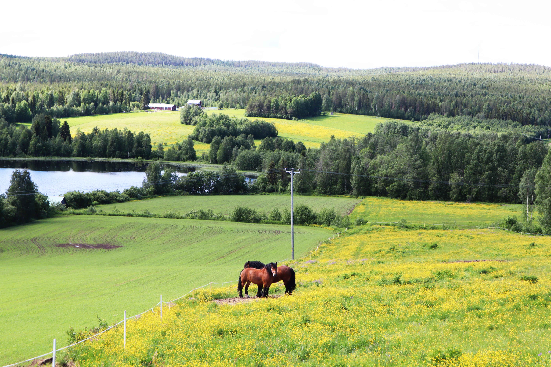 Hästar klöverträsk