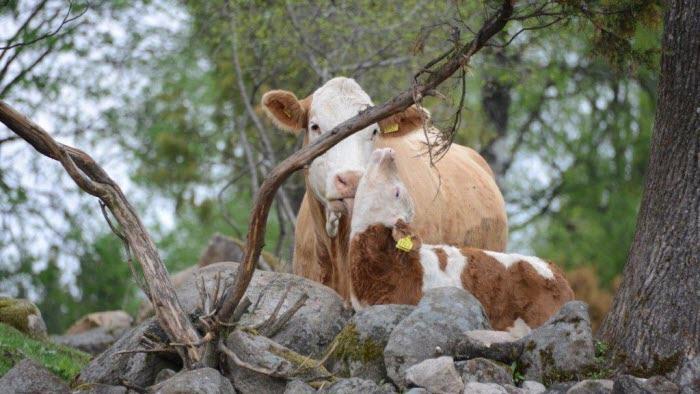 Mysstund mellan ko och kalv