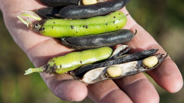 En hand med åkerbönor, på Esplunda Lantbruk. Fotograf: Ester Sorri.
