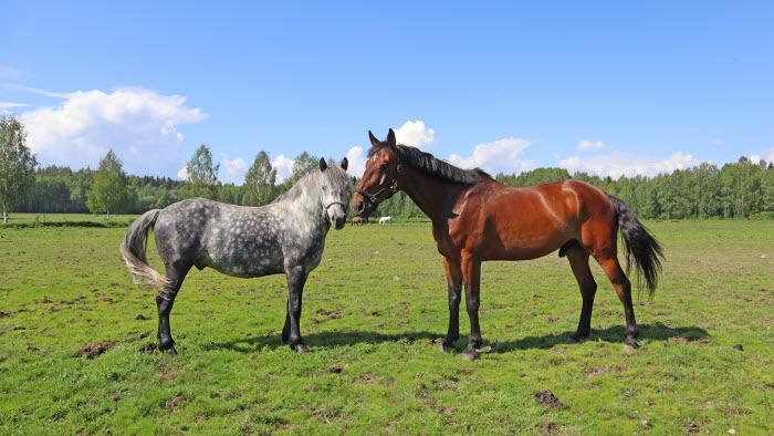 Hästar på Kågedalens Ryttarförening, Västerbotten
