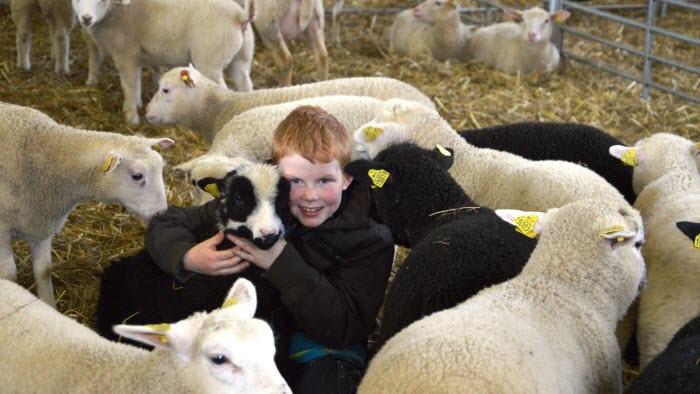 Gårdsbesök på fårgård, Liden västernorrland