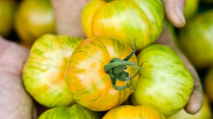 Viken tomater, Skåne.