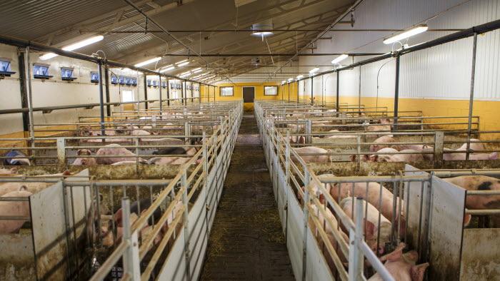 Grisstallet på Esplunda lantbruk. Foto: Ester Sorri.