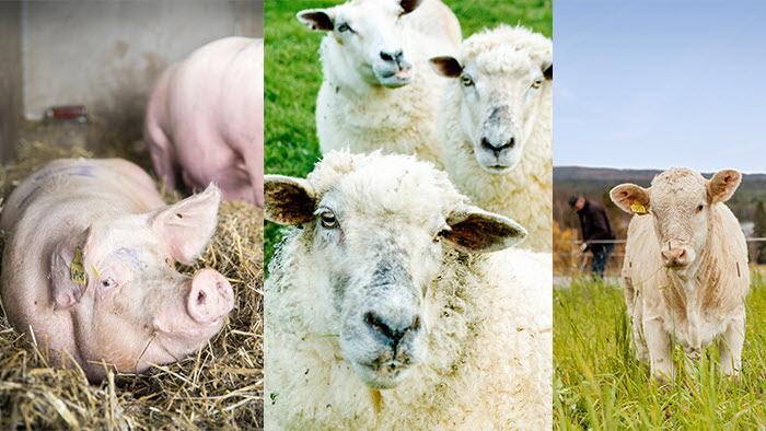 gris, lamm, nöt. Ekonomi och marknadsrapport april