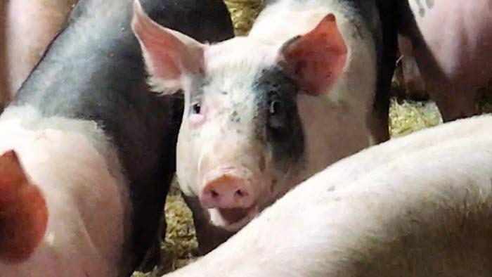 Glada grisra på Sahlins lantbruk i Kilafors