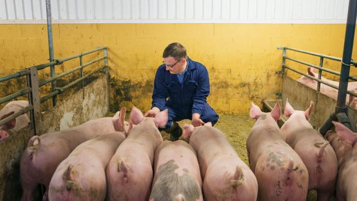 Bland grisarna, Esplunda lantbruk. Foto: Ester Sorri.