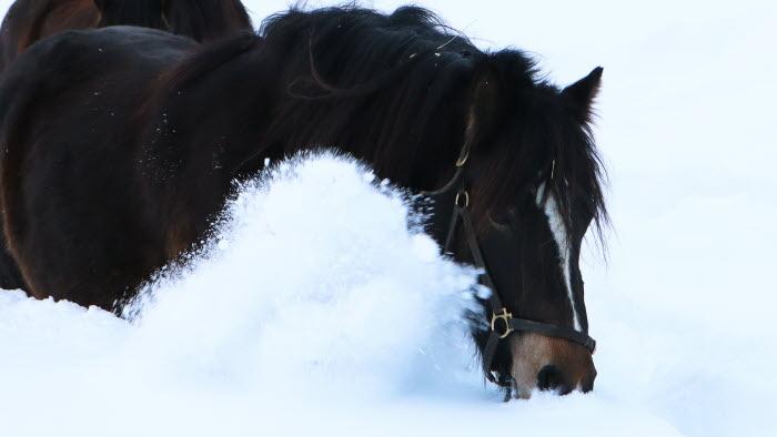 Hästar i vinterlandskap i Skellefteå-trakten, Västerbotten