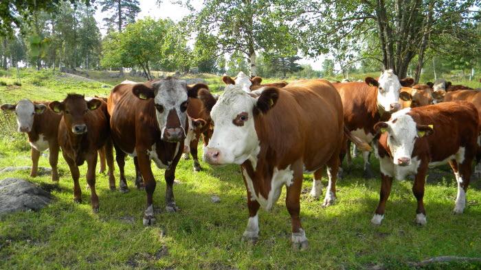 köttdjur Hälsingland