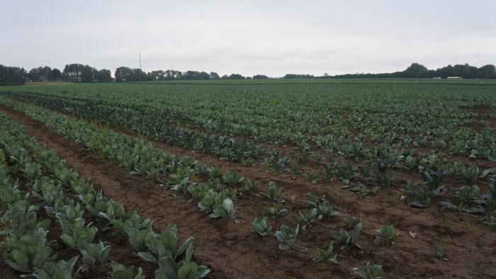 Grönsaker, friland