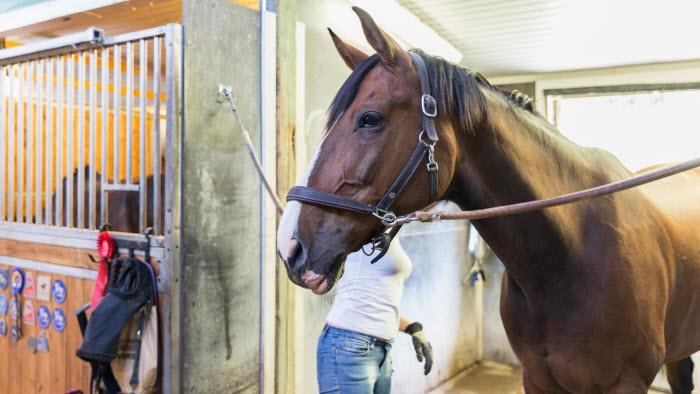 Företagare borstar häst i stallgång
