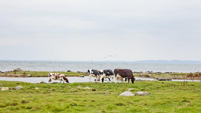 Kor vid havet Glimminge