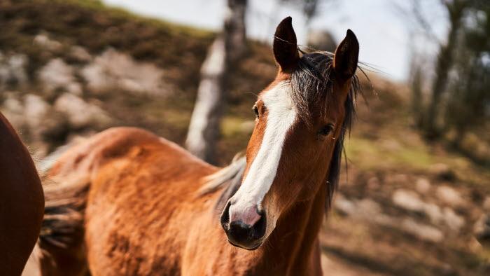 Häst i hage.