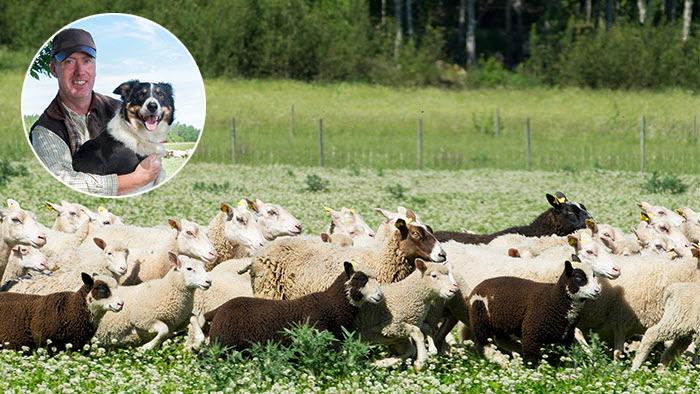 Tomas Olsson, lammproducent på Norrby gård, vinnare av HK Scans miljöpris