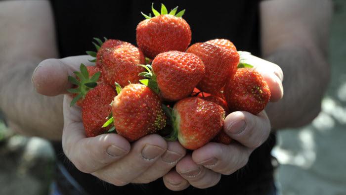 Halland jordgubbar