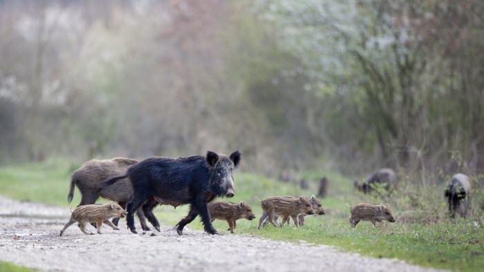 Grupp av vildsvin går över väg