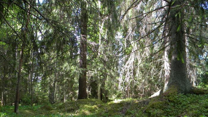 Skog, frivilligt avsatt reservat i Dalarna