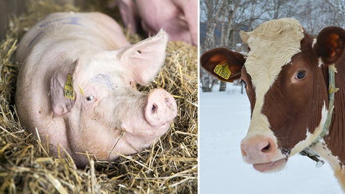 gris och ko