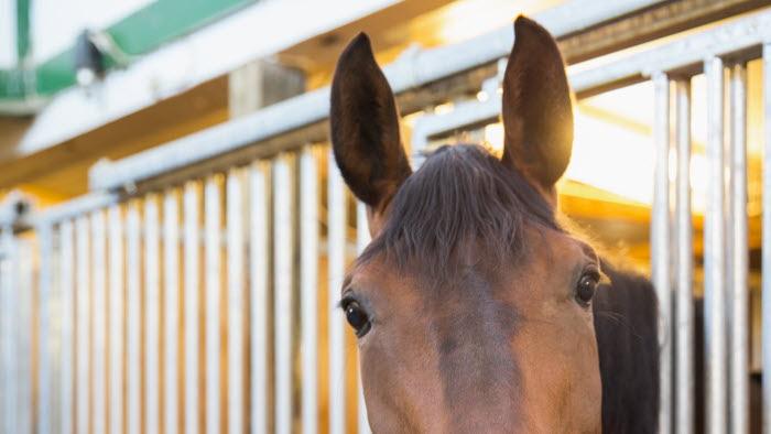 Häst tittar ut från sin box