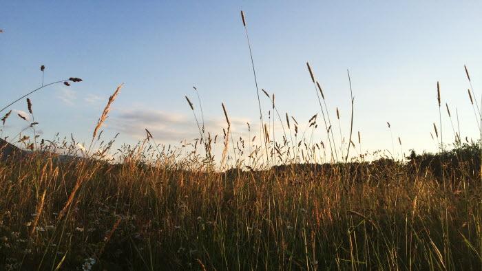 Fält i solnedgång