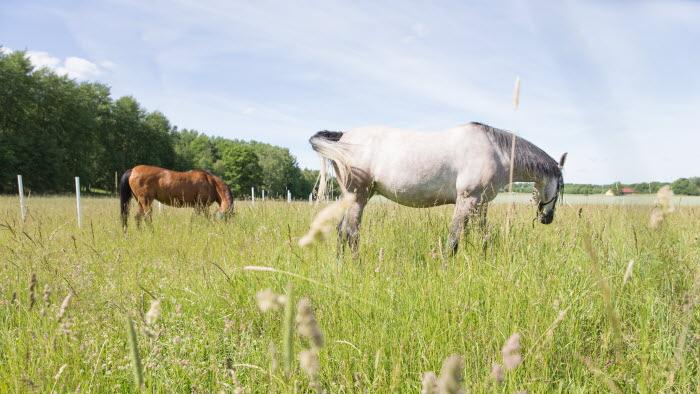 Två hästar på bete