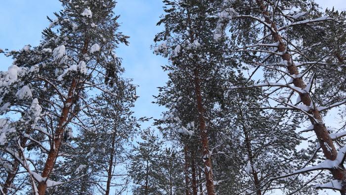 skog i Skellefteå-området, Västerbotten