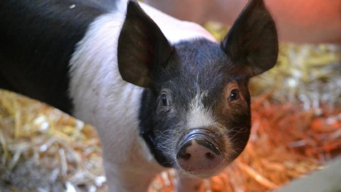 En söt gris