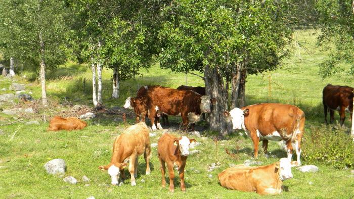 Köttdjur på bete