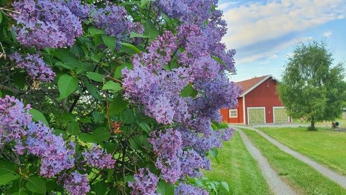Syrenbuske på gård