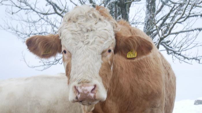 Den 22 januari 2018 invigdes Romeo hos Jakob Wallin på Studsbergs lantbruk. Men Romeo kom egentligen dit redan i maj förra året och hans kalvar beräknas komma under mars månad.