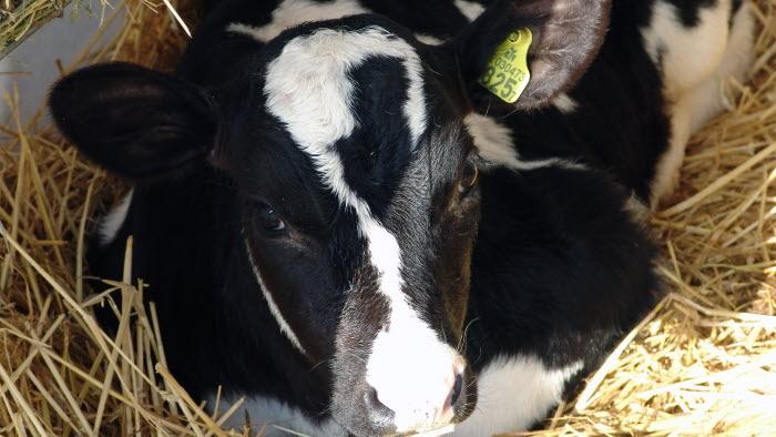 Kalvar på mjölkgård
