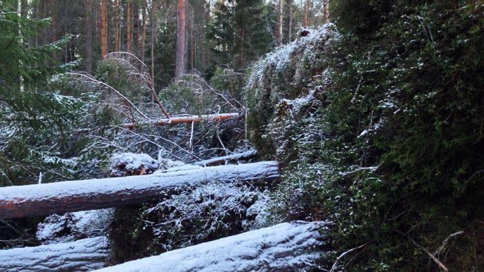 Omkullblåsta träd efter stormen Egon