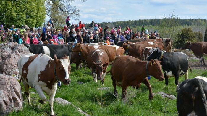 Kosläpp på Bolströ gård i Västmanland