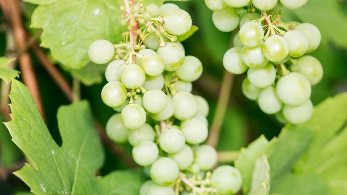 Vindruvorna växer på Långerum, Öland. Fotograf: Ester Sorri.