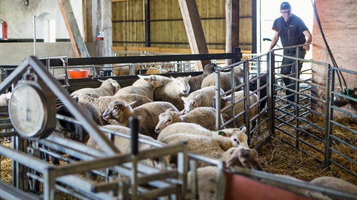 Lammen samlas för invägning, på Hörby gård. Foto: Ester Sorri