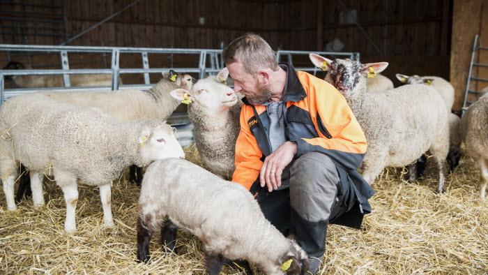 Företagare sitter på huk bland får