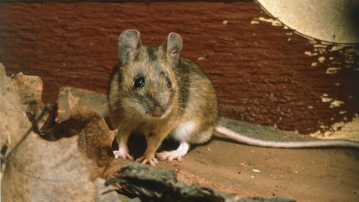 Skogsmus, möss, råttbekämpning