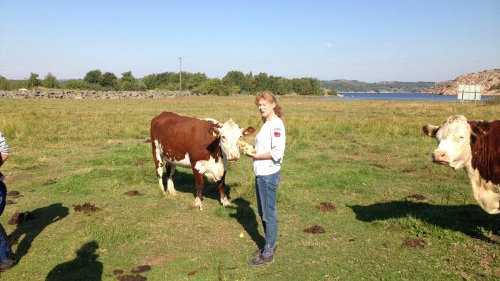 En av gårdens kor väntar på äpple ur Hanna Johanssons hand. Foto: Oscar Abrahamsson
